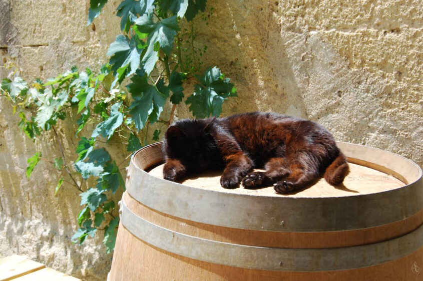 Grand Cru Experience, black cat sleeping on the wine barrel